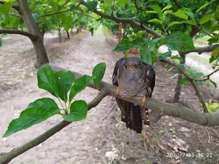 Tedavisi tamamlanan Guguk kuşu doğaya salındı