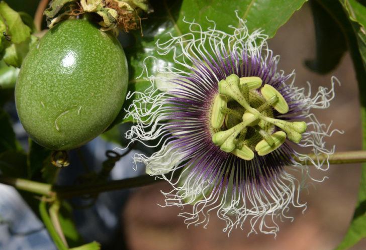 Passiflora, ünlülerin gözde meyvesi oldu! Kilosu 80 TL