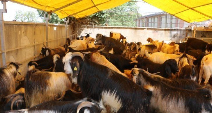 Kurban pazarında keçiye talep arttı! Kurbanlık keçi fiyatları ne kadar?