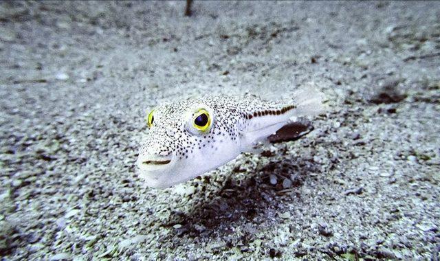 Zehirli balon balığı (Tetraodontidae) nedir?
