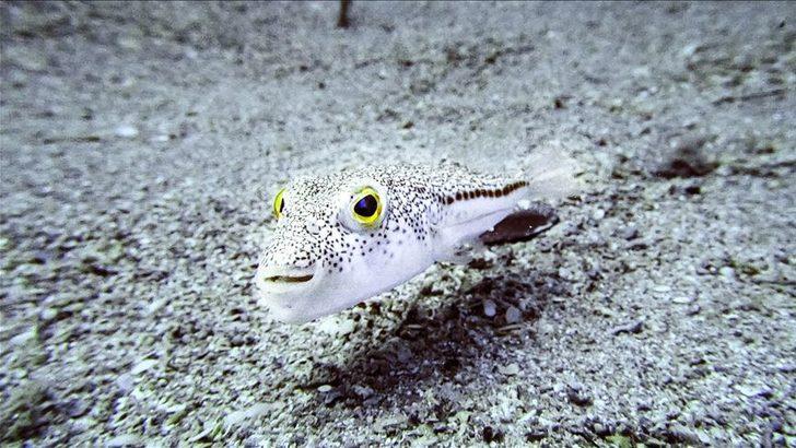 Yediği balon balığı ölümüne neden oldu! Balon balığı nedir, zehirli mi?