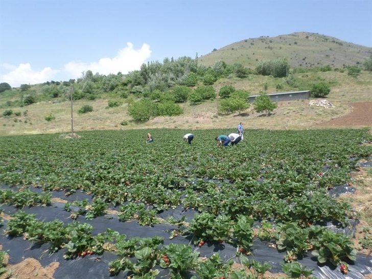 Çat ve Sultansuyu barajları çiftçiyi güldürdü