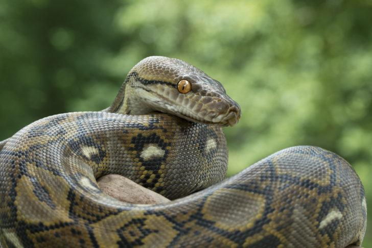 Kahramanmaraş'ta yılan dehşeti! 3 büyükbaş hayvan telef oldu