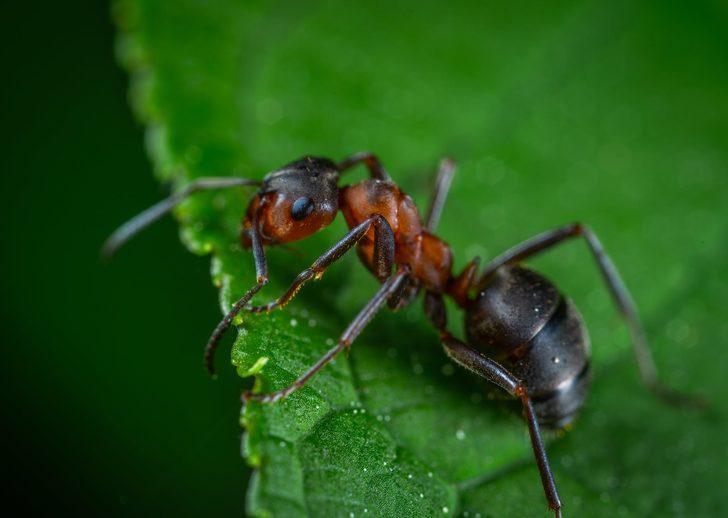 Bu yöntemlerle karıncaları evinizden uzaklaştırabilirsiniz! Tarçın, sirke ve...