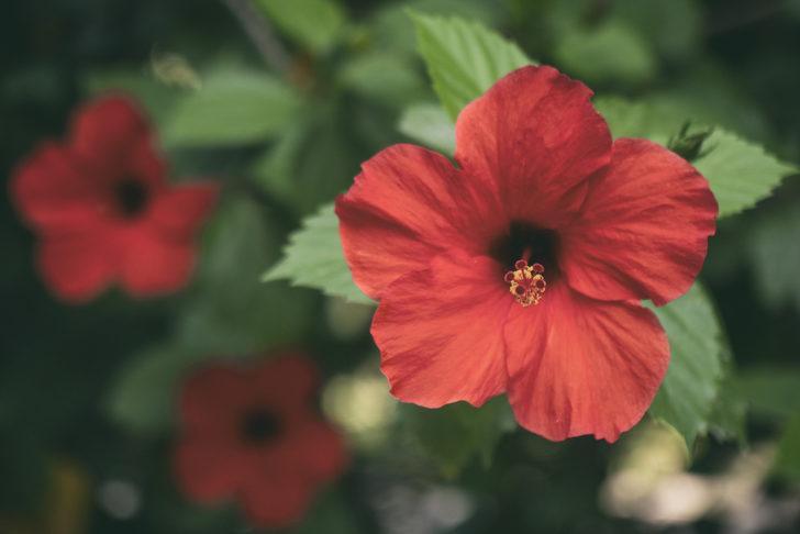 Hatmi çiçeği: Faydaları nelerdir?