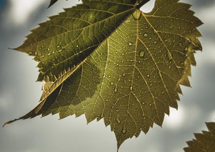 Asma yaprağı: Faydaları nelerdir?