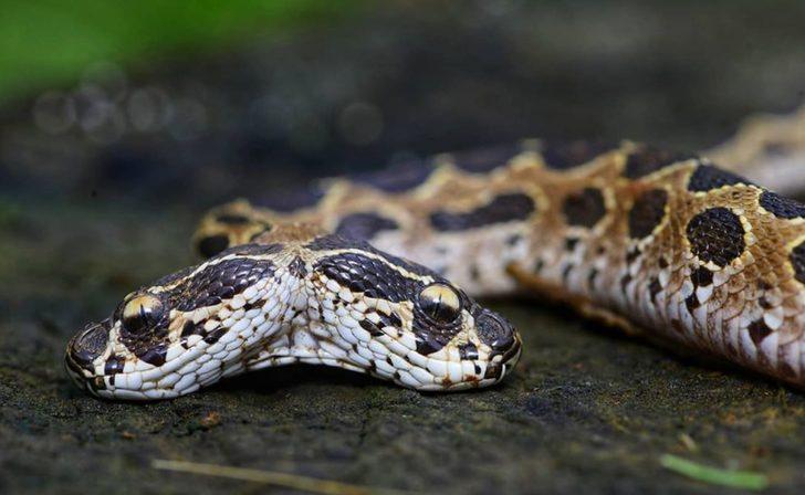 Hindistan'da çift başlı engerek yılanı görenleri şaşırttı