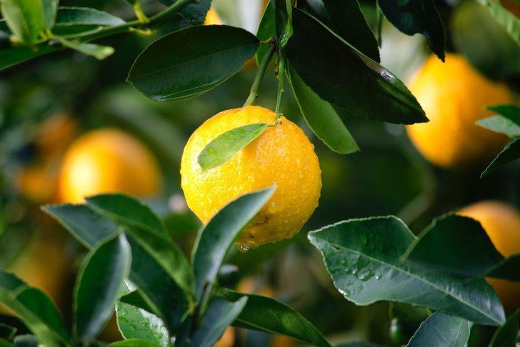 Bu yöntemle saksıda limon yetiştirmek mümkün! Kağıt havluyu ıslatarak...