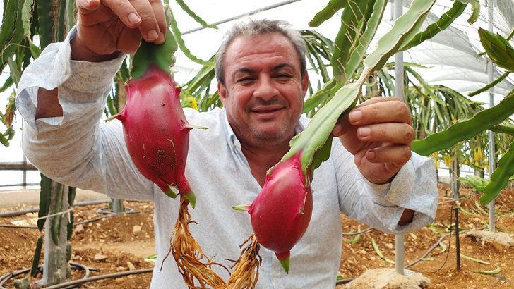 Silifke'de yetiştirilen ejder meyvesine Arap ülkelerinden yoğun talep var