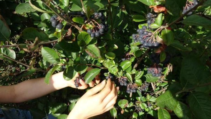 Ana vatanı Kuzey Amerika! 'Süper meyve' Aronya'yı, Akçaabat'ta yetiştirdi