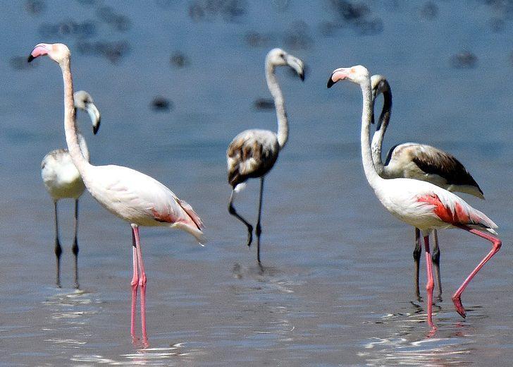 Flamingoların veda zamanı başlıyor