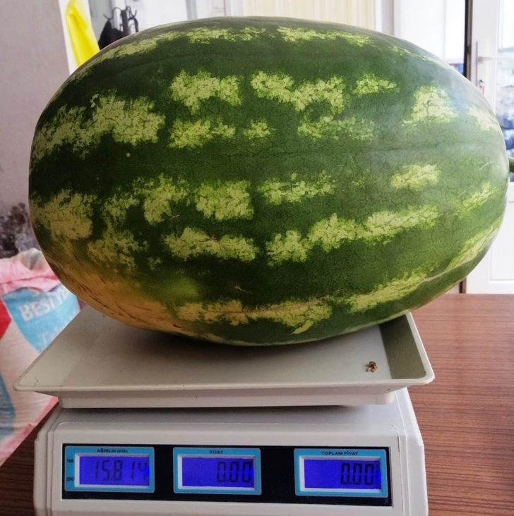 Görenler gözlerine inanamıyor! Bir tanesi 15 kilo...