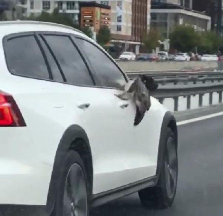 Yer: İstanbul! Martı çarptığı otomobil aynasına sıkıştı