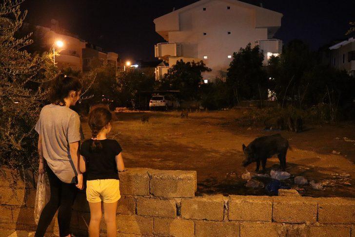 Marmaris'e inen yaban domuzlarını mahalleli besledi