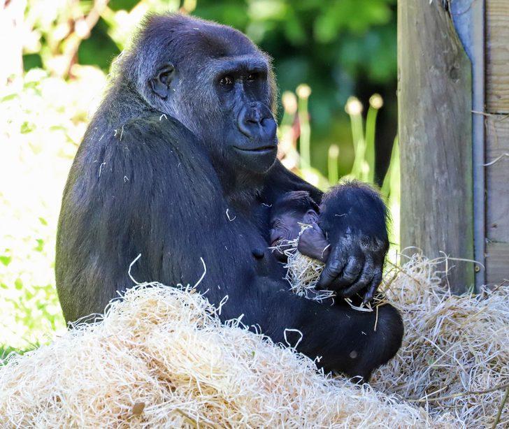 Goril doğum yaptı sosyal medyada olay oldu! Yanından ayırmıyor