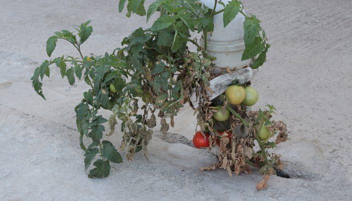 Gören şaşkına dönüyor: Betonda domates thumbnail