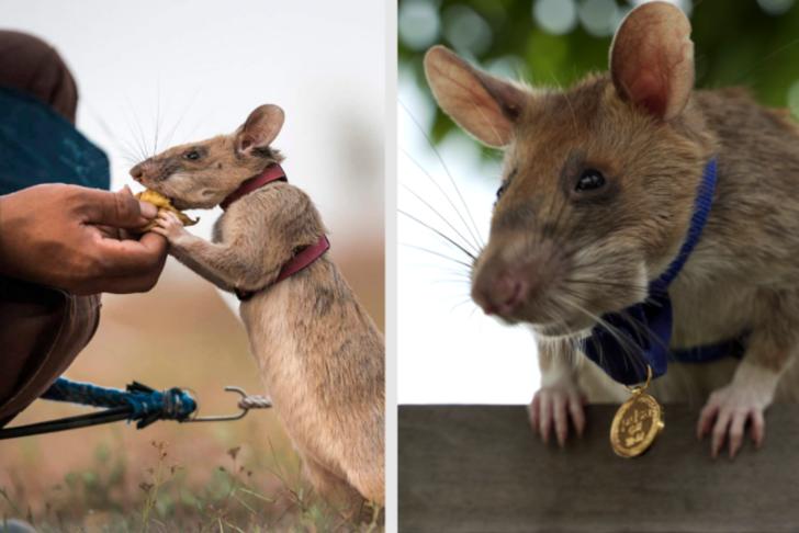 Mayın avcısı fareye altın madalya! 39 mayın, 22 cephane tespit etti