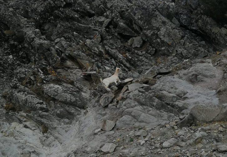 Muhtar 5 dedi ekipler 7 keçi getirdi! Balıkesir'de fıkra gibi keçi kurtarma operasyonu