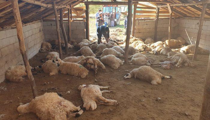 Tunceli'de dehşet! Boz ayılar 70 koyunu telef etti – Resmi Haber