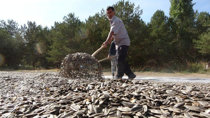 Muş'ta ilk defa ekimi yapılan çerezlik ay çekirdeği hasadına başlandı