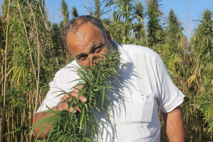 Yerli ve milli kenevirler hasada hazır: Bu kenevirlerden 'esrar' yapılamayacak