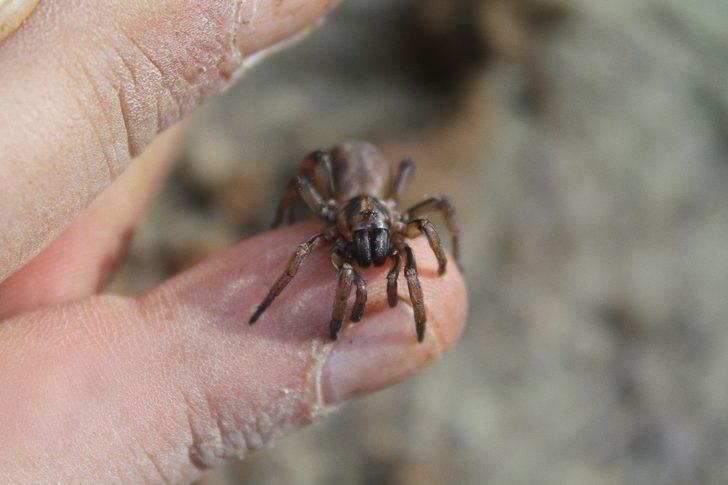 Kıbrıs'a özgü örümcek türü keşfedildi