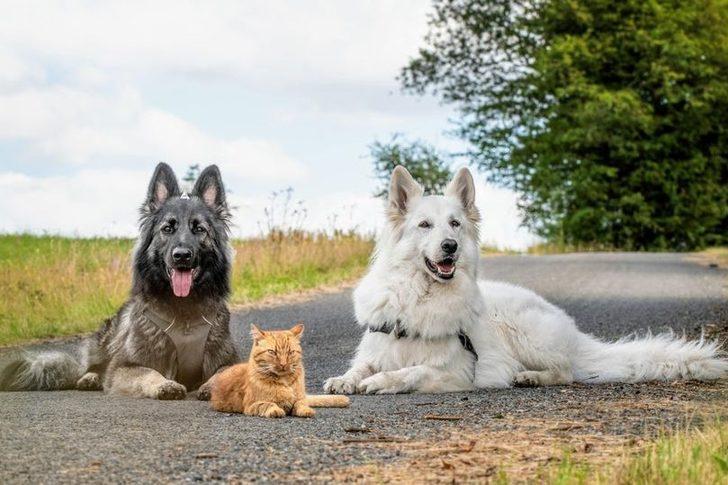 İki köpek tarafından sahiplenilen, kendini köpek zanneden kedi sosyal medyanın dilinde