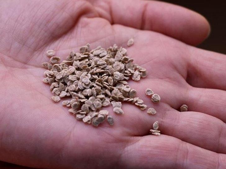 The Times duyurdu: Türkiye, İngiliz koleksiyonundaki antik ve modern tohumlara el koydu