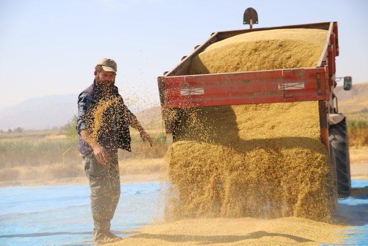 150 gün suyun içinde yetişen pirinç! Sadece Elazığ'ın Palu ilçesinde ekiliyor