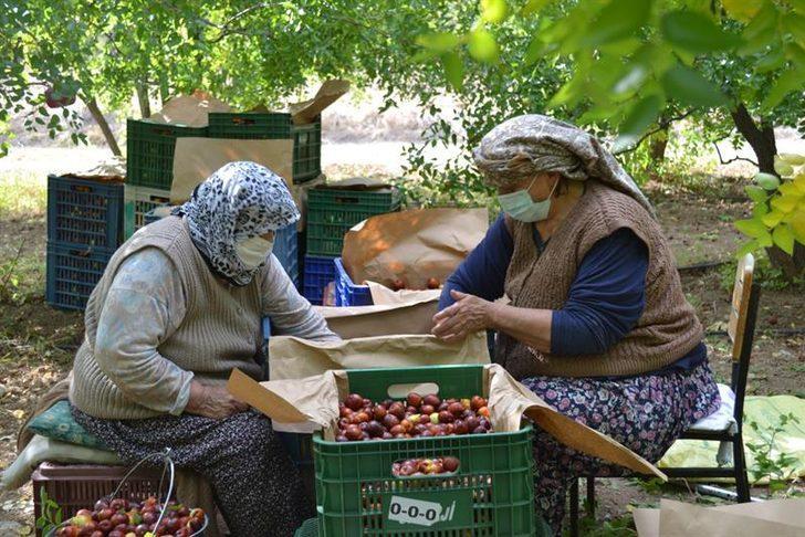 Bir ağaçtan 20 kilogram elde ediliyor, hünnap meyvesinin kilosu 10 TL'den satılıyor