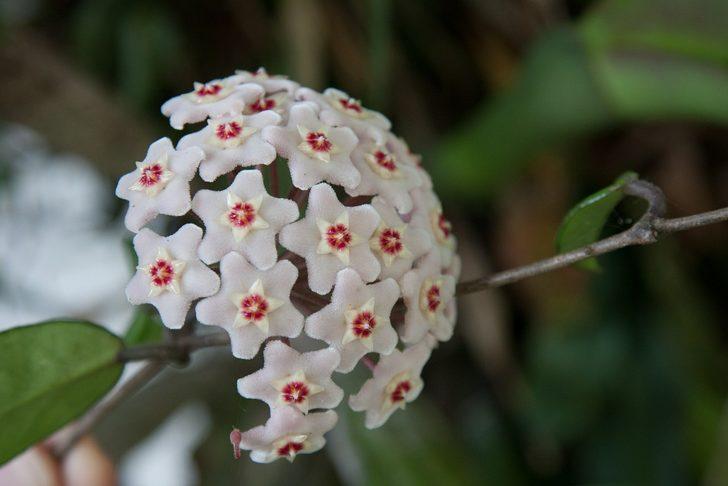 Mum Çiçeği nedir? Mum Çiçeği bakımı nasıl yapılır?