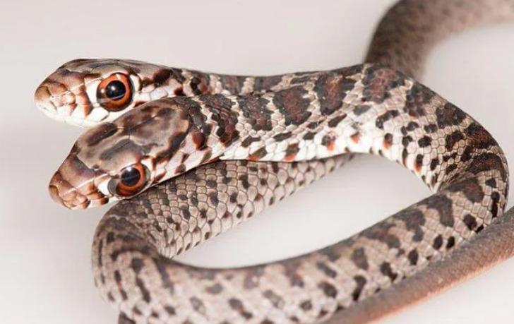 Çift başlı yılan heyecan yarattı: İki beyni var