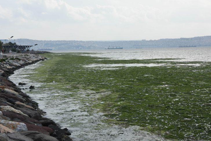 İzmir'de deniz marulu şaşkınlığı! Sahil boyunca devam ediyor