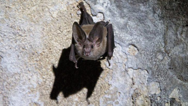 Vampir yarasalar bile hasta olduklarında 'sosyal mesafeyi koruyor'