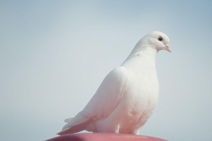Rüyada beyaz güvercin görmek ne demek, ne anlama gelir?