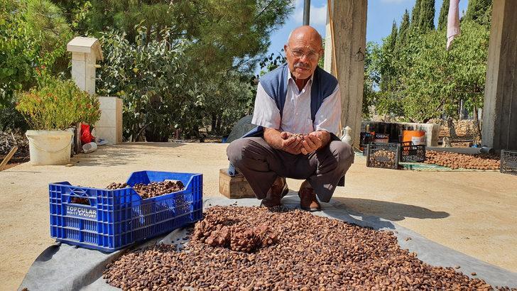 Gölgelik diye diktiği fıstık çamı fidanlarından 40 bin lira kazandı