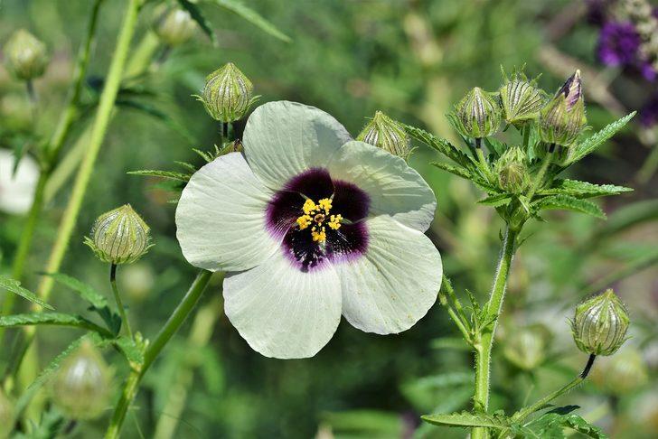 Hatmi çiçeği nedir? Hatmi çiçeğinin faydaları