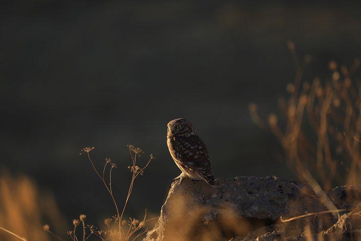 Bingöl'de athena türü baykuş böyle görüntülendi!