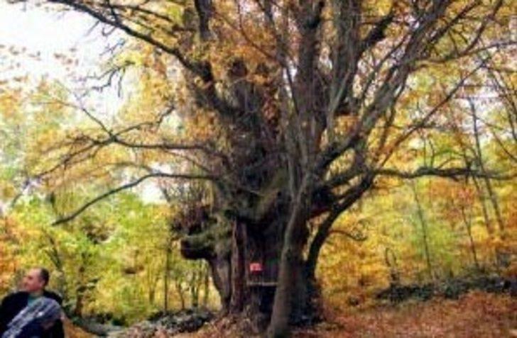 Çetin hava şartları bile zarar veremiyor! 4 asırlık ağaç yıllara meydan okuyor