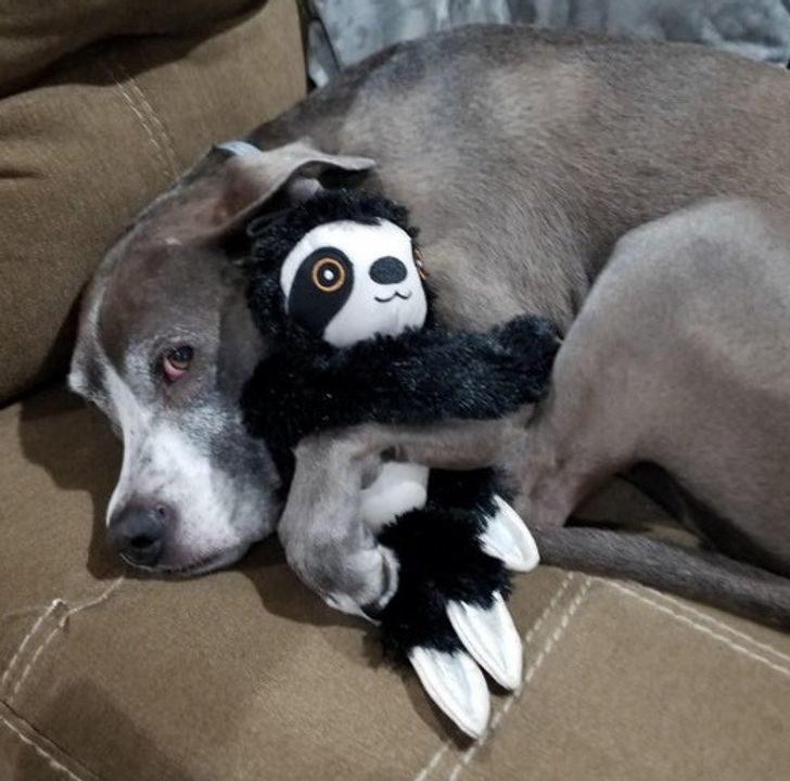 Bir saniyeliğine bile en sevdiği oyuncaktan ayrılamayan köpek gözlerden kalpler çıkartacak
