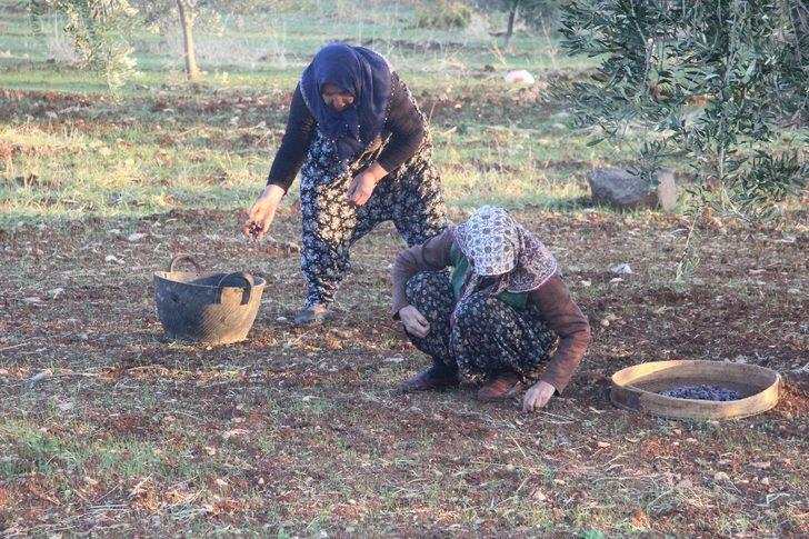 Sokağa çıkma kısıtlamasından muaf olan zeytin üreticileri hasat yaptı