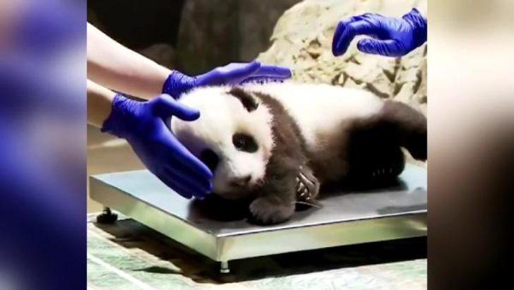 ABD'de sağlık kontrolü olan küçük pandanın görüntüleri paylaşım rekoru kırdı