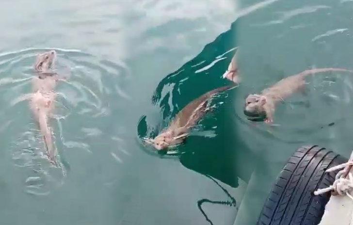 Nesli tükenme tehlikesi altında! Deniz keyfi yaparken görüntülendi