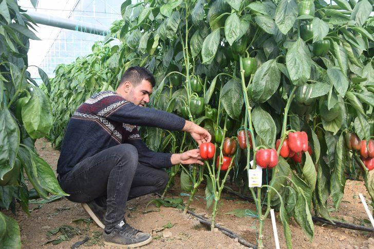 Antalya'da Kaliforniya biberi üretiyorlar! Dünyaya ihraç ediliyor