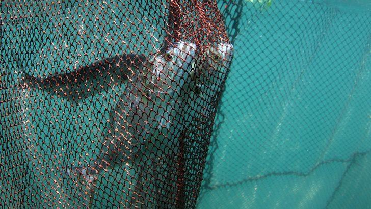Bluefish: Marmara Lüferini De Mi Kaybediyor?