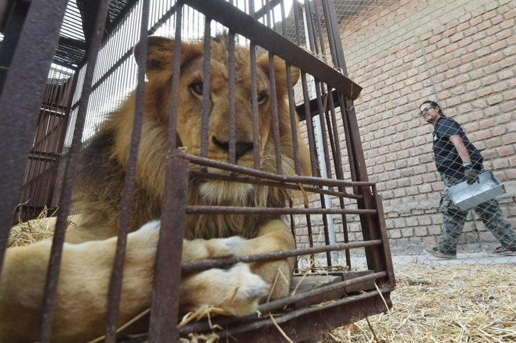 Japonya'da aslanlar yavru kediden ucuza satılıyor!