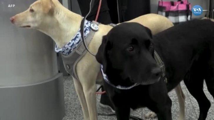 Köpekler koronavirüsü tespit edebilir mi? İşte yanıtı