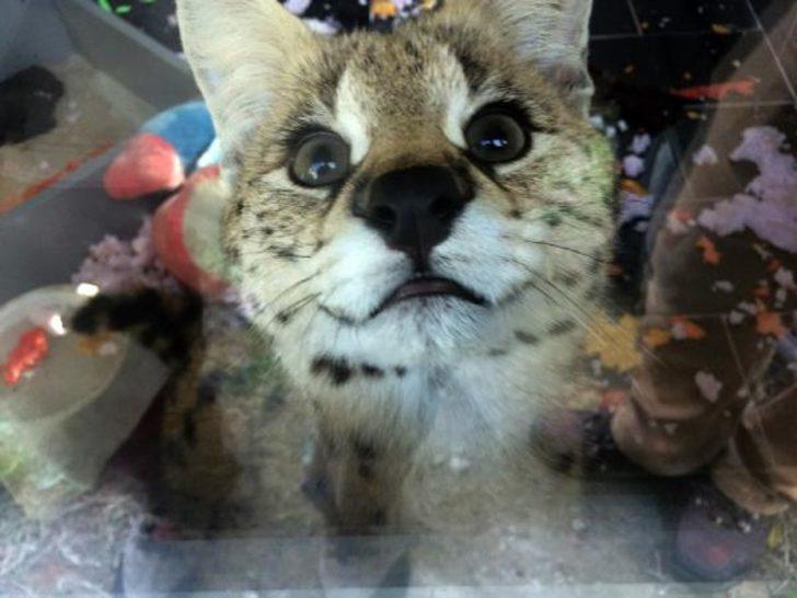 Sakarya'da ülkeye kaçak sokulan Afrika vahşi kedisi ele geçirildi