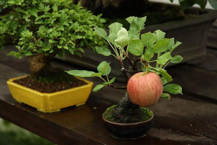 4 Adımda Elma Ağacı Nasıl Yetiştirilir?