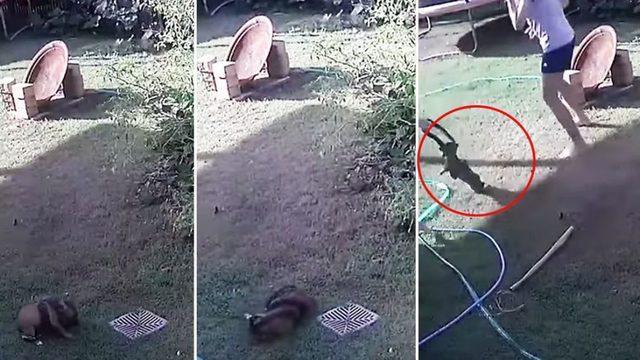 Yılanın köpek avı! Bahçedeki köpeği böyle öldürmeye çalıştı